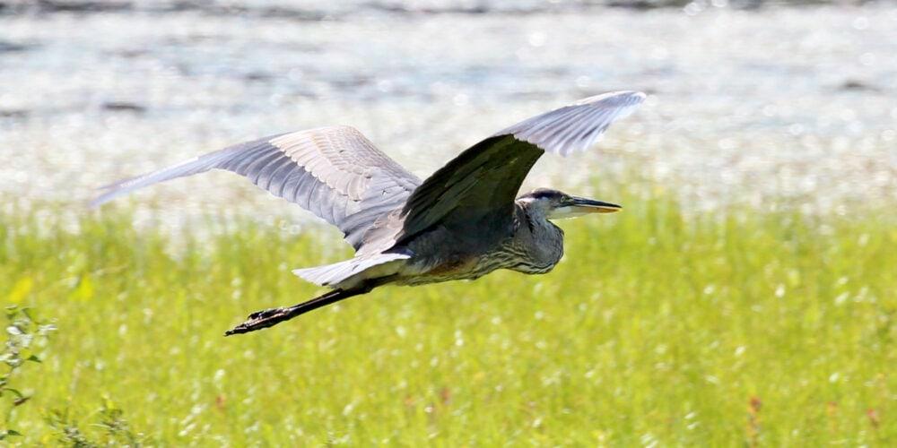 Le site Les Marais du Nord, à Stoneham, est un endroit de prédilection pour la photographie d'oiseaux, comme ce grand héron en plein vol aux abords du lac Saint-Charles.